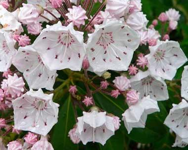 Mountain laurel flowers; official state flower of Pennsylvania and Connecticut