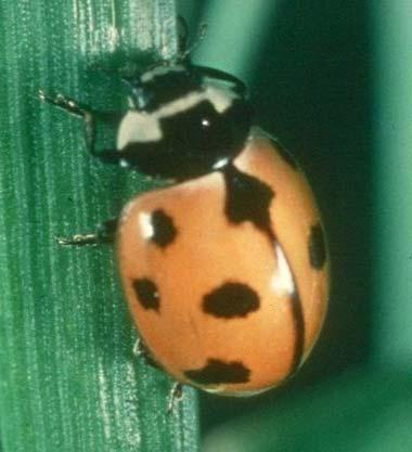 New York State Insect Nine Spotted Ladybug