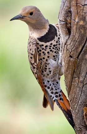 Northern flicker woodpecker (yellowhammer)