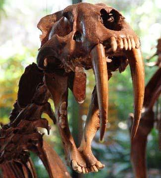 Sabre-tooth cat fossil from La Brea Tar Pits