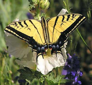 Two-tailed swallowtail butterfly (Papilio multicaudata)