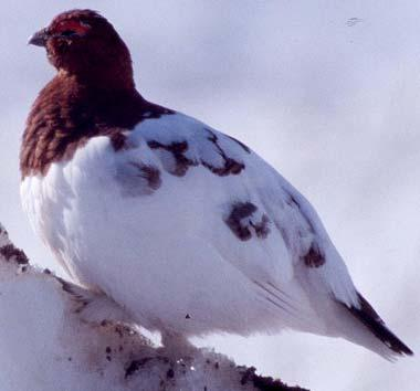 Molting willow ptarmigan