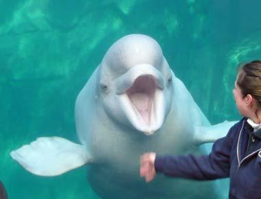 Beluga whale at Mystic Aquarium in Connecticut; photo by Anne on ...