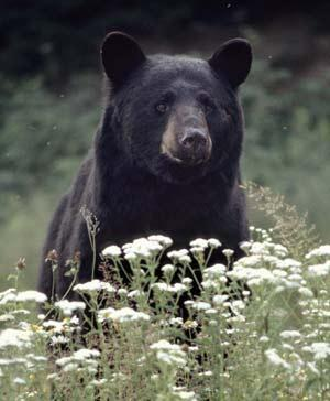 Black bear - a state symbol of WV, LA, NM