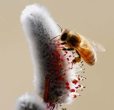 Honeybee on willow bloom
