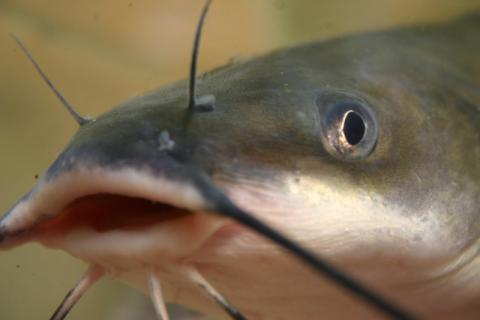 Channel catfish (Ictalurus punctatus)