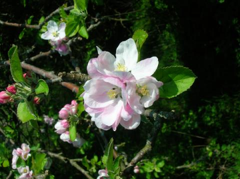Apple blossom; state flower of Arkansas and Michigan