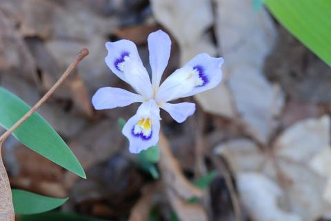 Wild iris in Arkansas