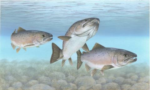 Atlantic salmon (Salmo salar) illustration