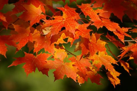Autumn sugar maple leaves