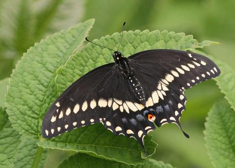 Black swallowtail butterfly (Papilio polyxenes) - Oklahoma state butterfly