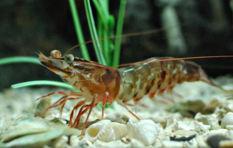 Brown shrimp; crustacean symbol of Alabama and Texas