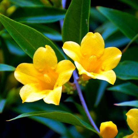 Carolina yellow jessamine flowers