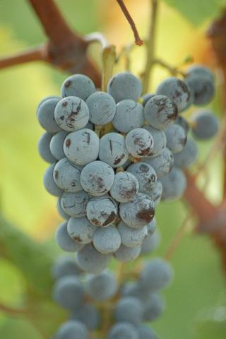 Cynthiana grapes