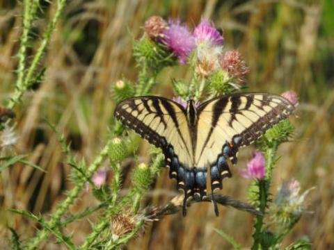 Image of Eastern Tiger Swallowtail, the official state butterfly of Alabama
