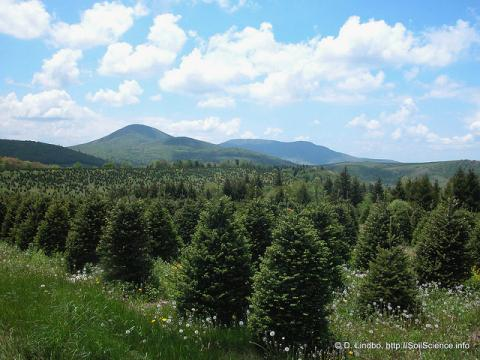 Fraser Fir Christmas trees in the mountains of North Carolina