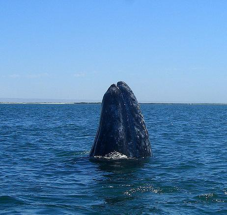 "Gray whale ""showing off"""