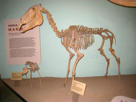 Hagerman horse fossils