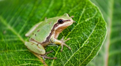 Photo taken by Vivipro of an Arizona Tree Frog - Hyla eximia