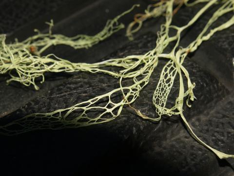 Lace lichen (also called fishnet lichen); symbol of California