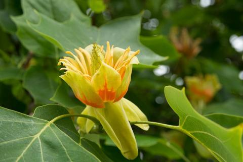 Flower of tulip tree (Liriodendron tulipifera)