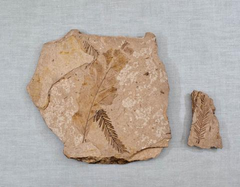 Metasequoia sp. fossil from Middle Eocene
