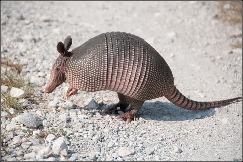 Nine-banded armadillo in Texas