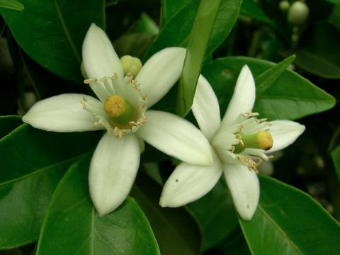 Orange blossom; official state flower of Florida