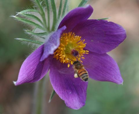 Pasque flower and bee