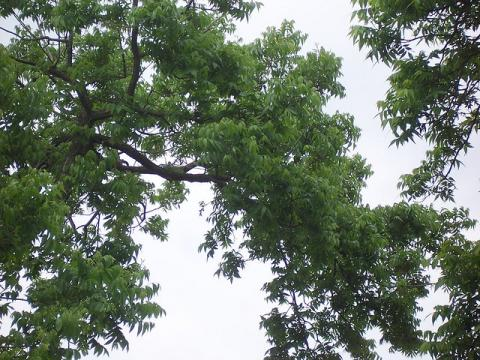 Pecan tree in July