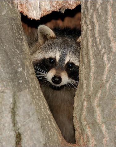 Raccoon peeking from tree