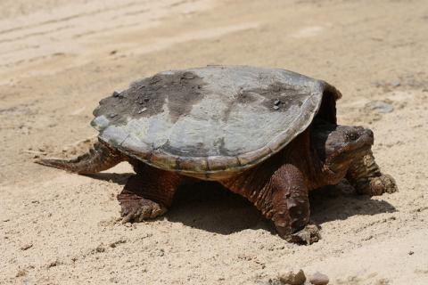 Chelydra serpentina (snapping turtle)