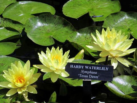 Nymphaea Texas Dawn waterlily