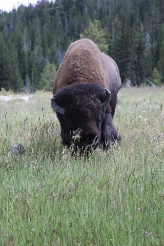 Bison Yellowstone National Park, Wyoming