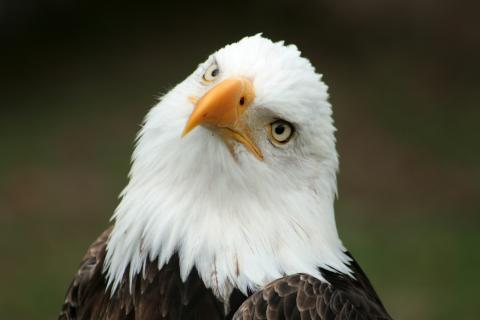American bald eagle; our national bird