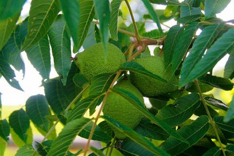 Black walnuts on the tree