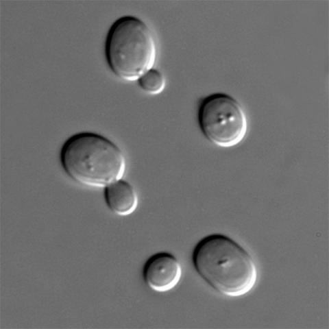Brewer's yeast cells