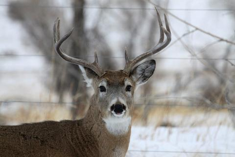 White-tailed deer (buck)