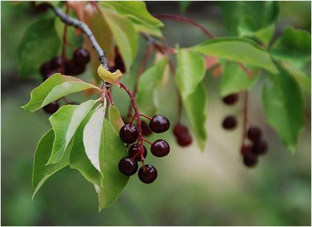 Chokecherries in the Black Hills forest region of South Dakota