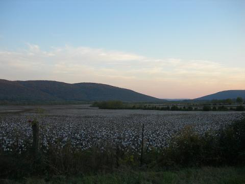 Alabama cotton field