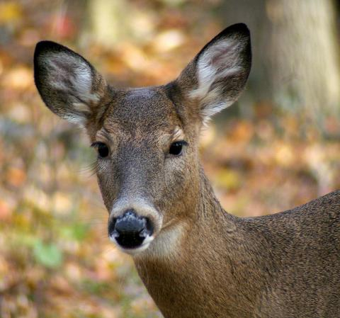 White-tailed deer doe