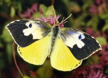 Male California Dogface butterfly