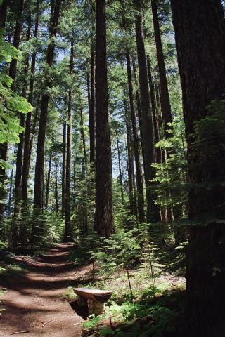 Douglas fir forest in Oregon