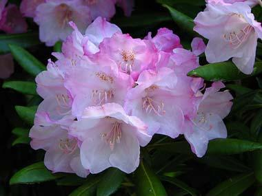 Coast rhododendron flowers