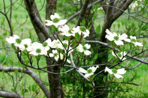 American dogwood flowering