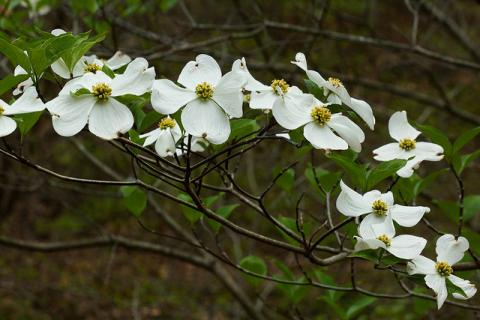 Dogwood flowers (Cornus florida)