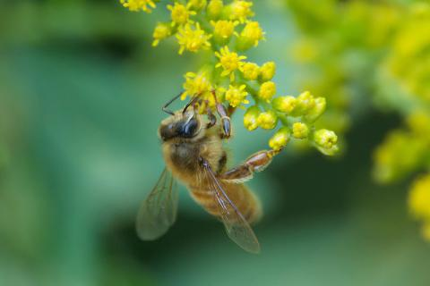Honeybee on goldenrod