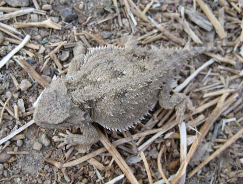 Horned lizard; Carbon, Wyoming.