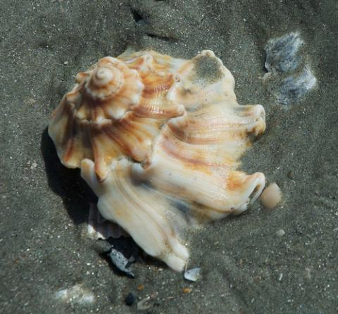 Knobbed whelk seashell
