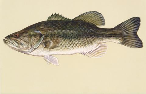 Largemouth bass illustration